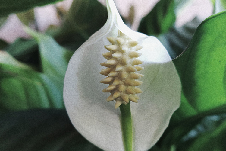 peace lily and air quality