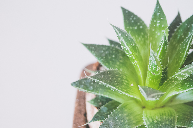 aloe vera indoor plants and interior design