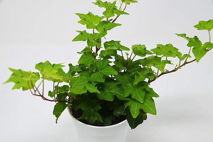 ivy indoor and interior design
