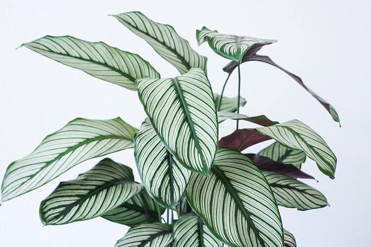 Peacock plants and interior design